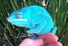Photo of What Are the Right Temperature and Lighting Requirements for Chameleons?