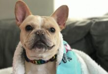 Photo of Get All The Information About French Bulldog